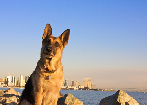 toby-downtown-san-diego-dog