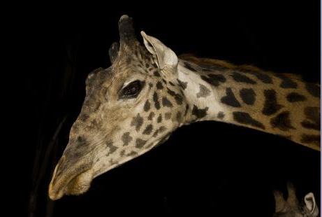 San Diego Zoo Giraffe.bmp